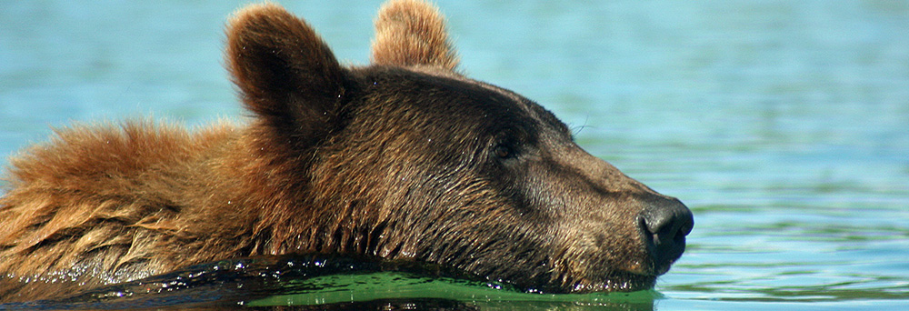 Wise and Sustainable Use of Grizzly Bears