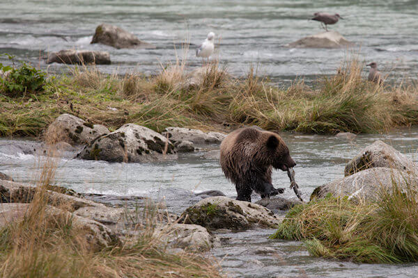 Young Grizzly Hunting Salmon