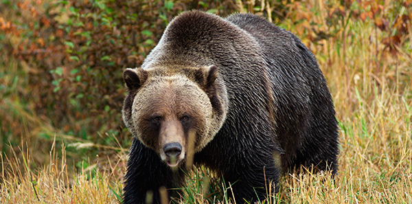 Get the Facts about Grizzly Bears