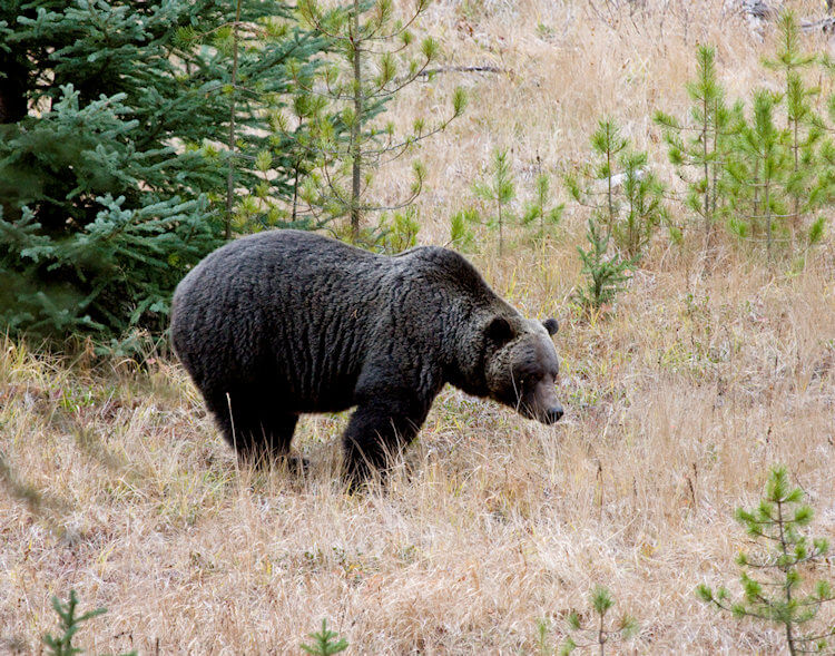 Facts About Grizzly Bears