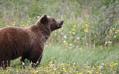 Difference of Opinions on Grizzly Hunt Ban